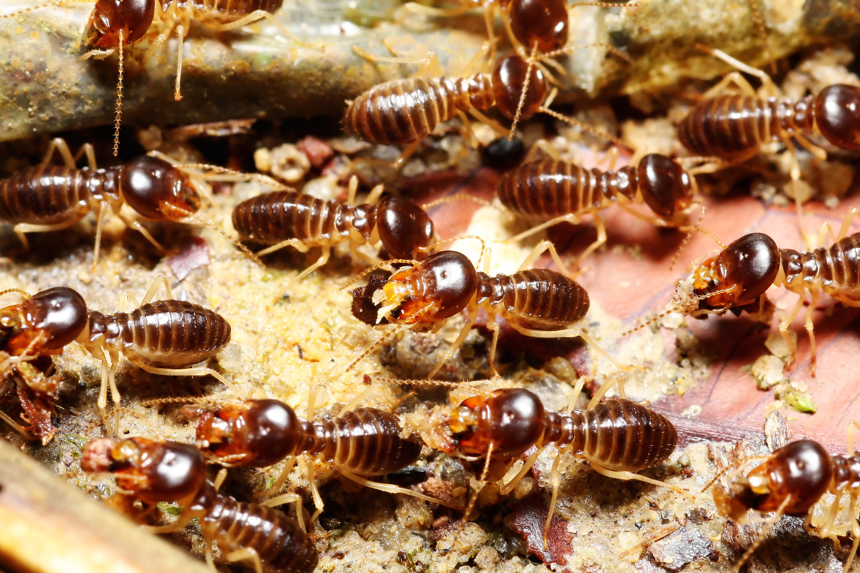 Diagnostic termites